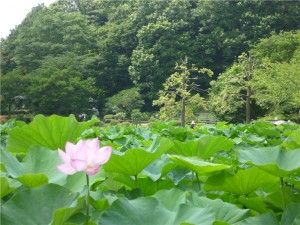 薬師池公園のハス田