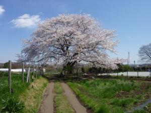 とうきょう元気農場の桜