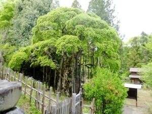 幸神神社のシダレアカシデ