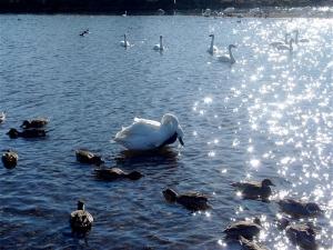 飯盛川の白鳥