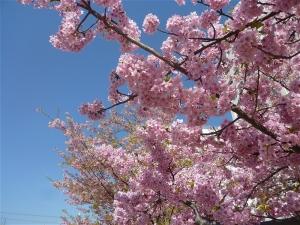 寒桜と河津桜