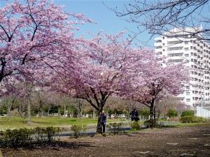 大島小松川公園の河津桜