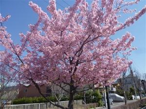 新川千本桜にて